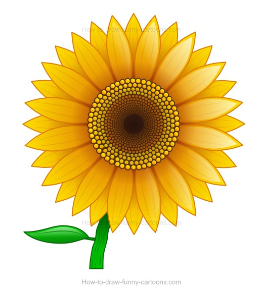 520x581 To Draw A Sunflower