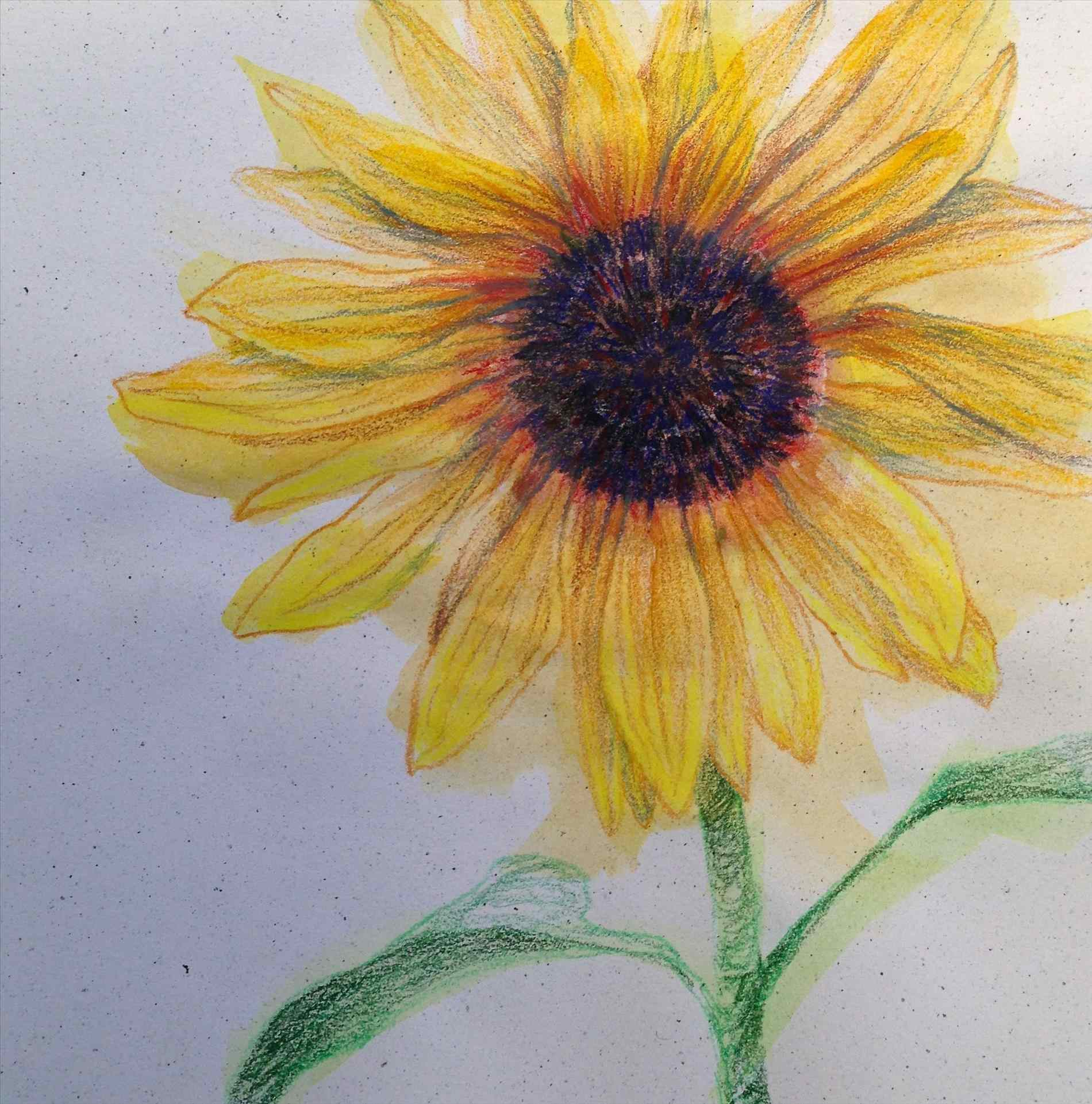 1900x1921 Lapse Drawing Of Flower Sunflower Youtube Fabulous Colored By
