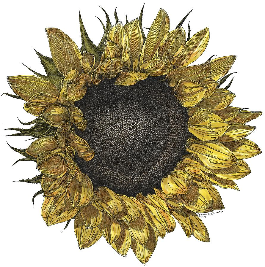 891x900 Sunflower Drawing In Color Drawing By William Beauchamp