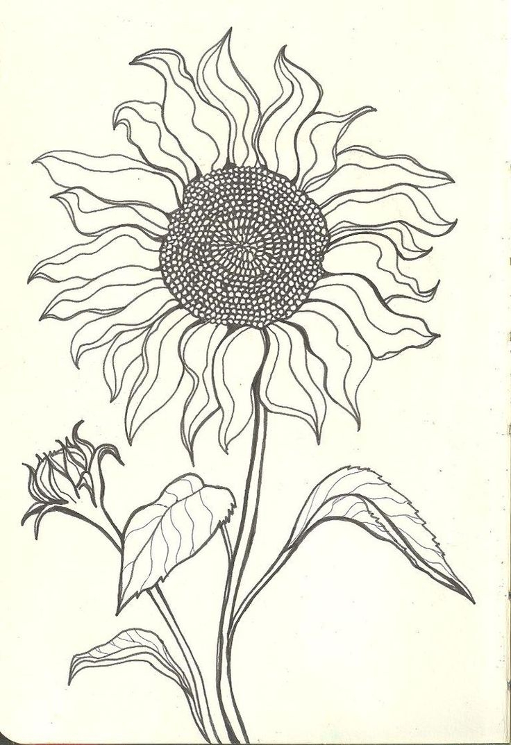 736x1073 Drawing Of A Sunflower Drawing Of A Sunflower Hhh How To Draw