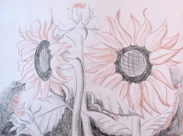 619x460 How To Draw Sunflowers