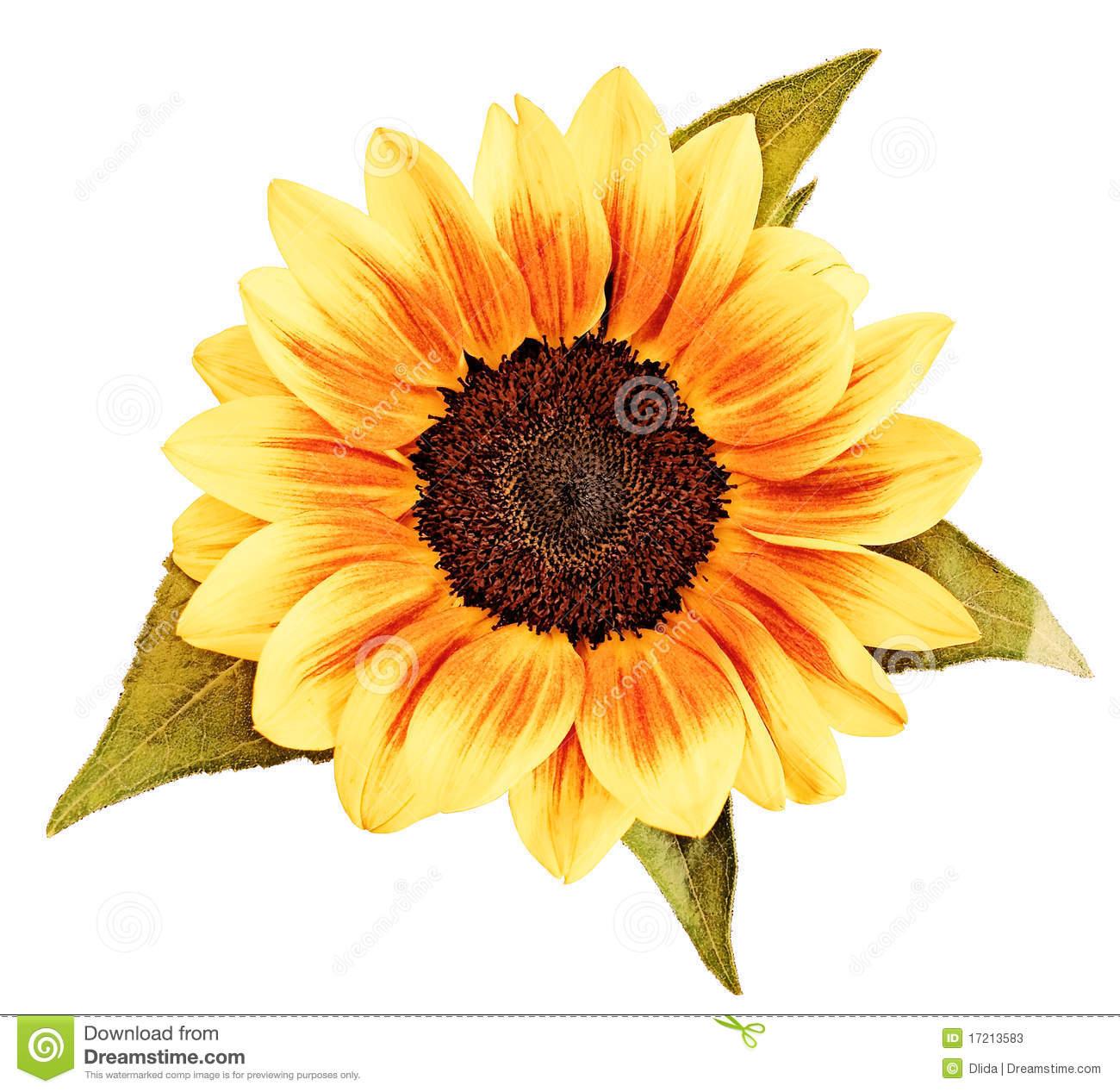 1300x1267 Sunflower Drawing Stock Photos