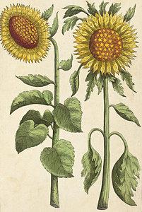201x300 Sunflowers Drawings Pixels