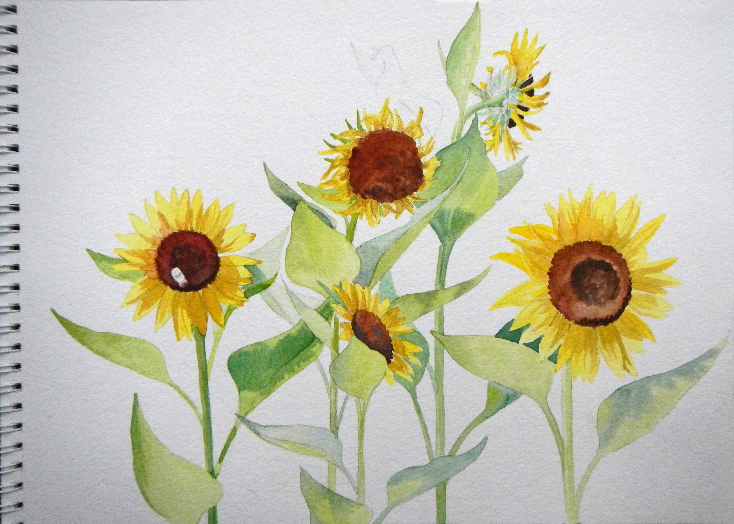 2483x1772 Eleletsitz Sunflowers Drawing Tumblr Images