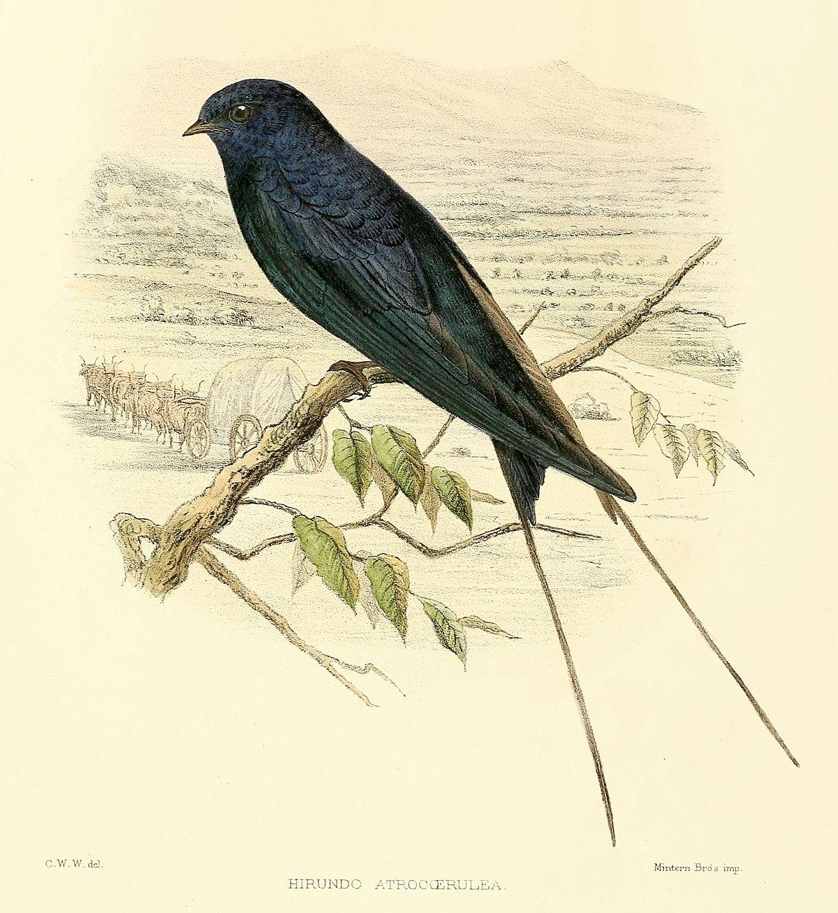 1200x1307 Blue Swallow
