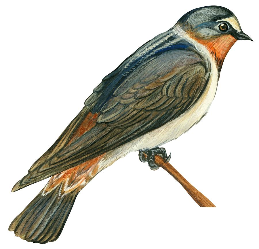 900x864 Cliff Swallow Drawing By Anonymous