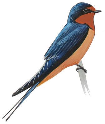 337x400 Tree Swallow Audubon Field Guide