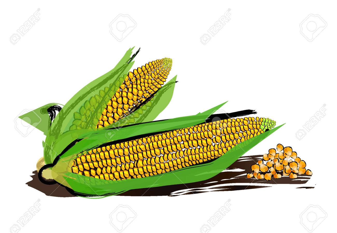 1300x897 Vector Drawing Of Corn With Paint Splashes. Royalty Free Cliparts