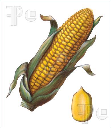 390x450 Illustrations Of Corn Seeds
