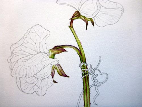500x375 News Botanical Illustration Step By Step