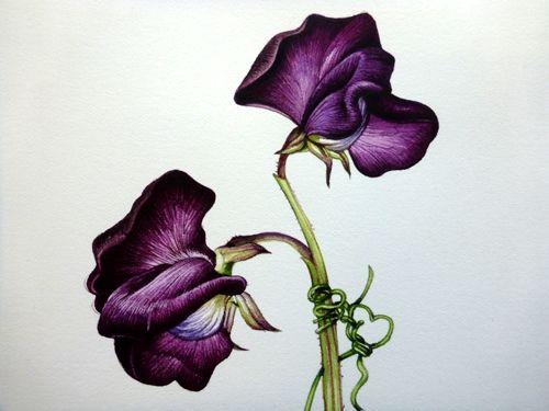 500x375 Step 13 Of Botanical Sketchbook Study Of Sweet Pea Flower. Really