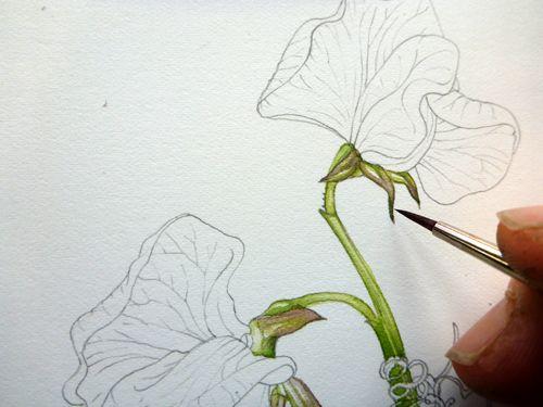 500x375 Step 4 Of Botanical Sketchbook Study Of Sweet Pea Flower