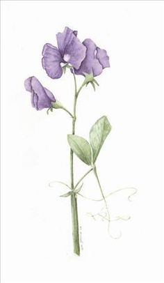 236x406 Sweet Pea Drawings Sweet Pea Flower Drawing Black And White