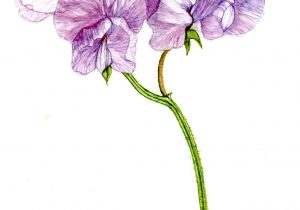 300x210 Sweet Pea Flower Drawings