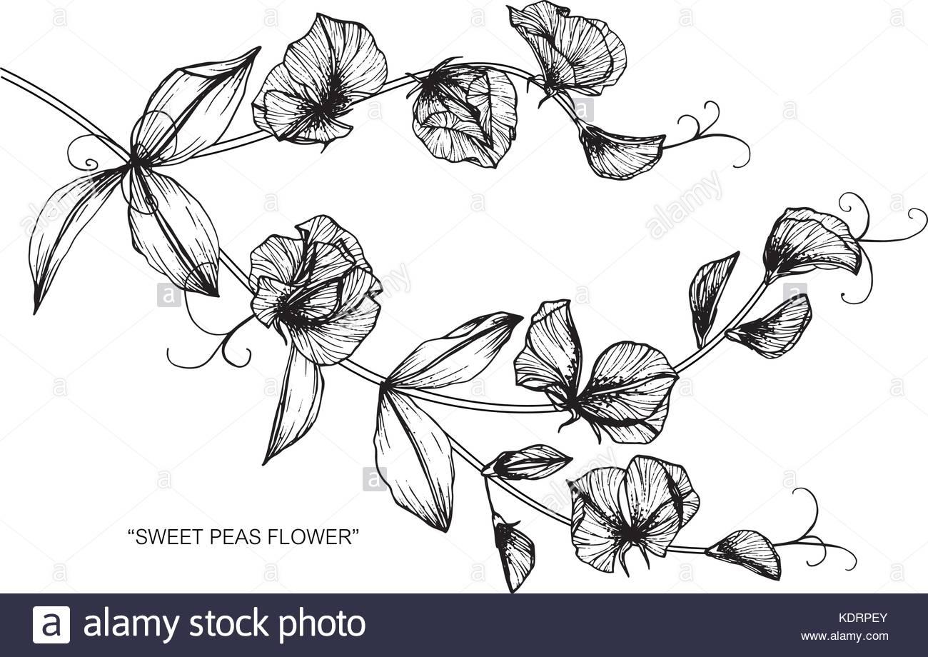 1300x920 Sweet Pea Flower Drawing Stock Vector Art Amp Illustration, Vector