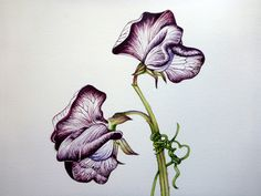 236x177 Sweetpea Drawing , Flower Sketch Art Journal, How To Draw Flowers