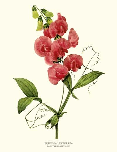 400x520 Vintage Flower Art Botanical Prints Sweet Pea Flowers And Pea Flower