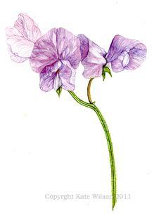 236x309 Lavender Sweet Pea Purpleplumlavender Flowers