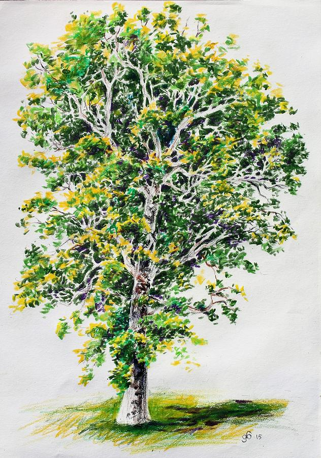 632x900 Study Of A Sycamore Tree Drawing By Glenn Boyles