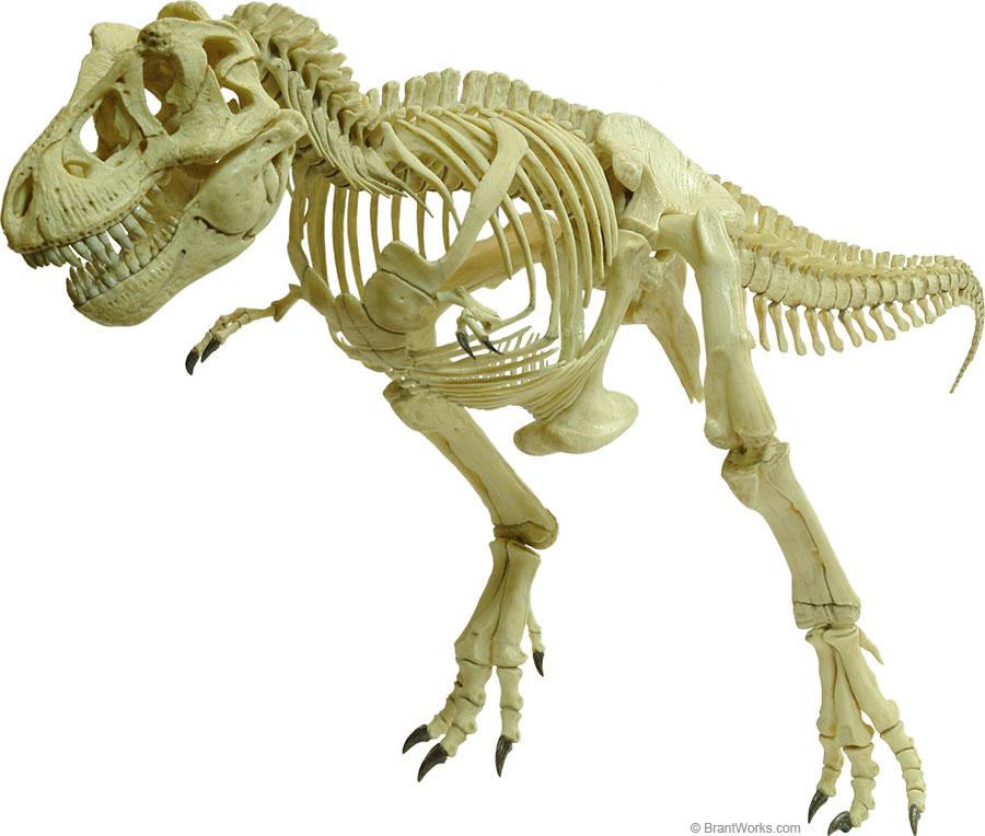 900x764 Brantworks Tyrannosaurus Skeleton