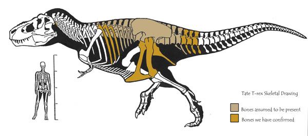 600x266 Lee Rex Diagram Camp 2015 Diagram, Tyrannosaurus