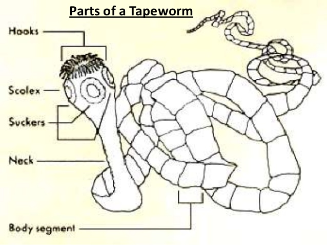 Tapeworm Drawing At Getdrawings Free For Personal Use Tapeworm