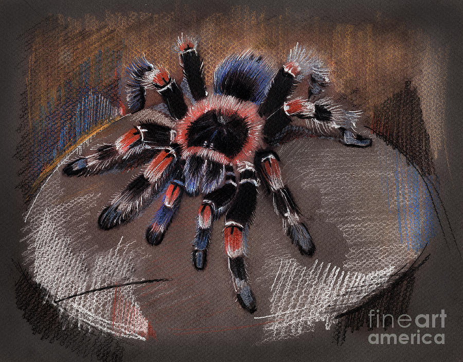 900x704 Mexican Redknee Tarantula Drawing By Daliana Pacuraru
