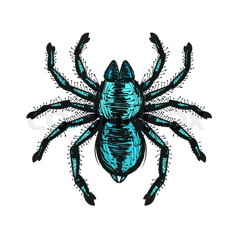 800x800 Spider Tarantula Vector Color Drawing Vector Illustration Stock