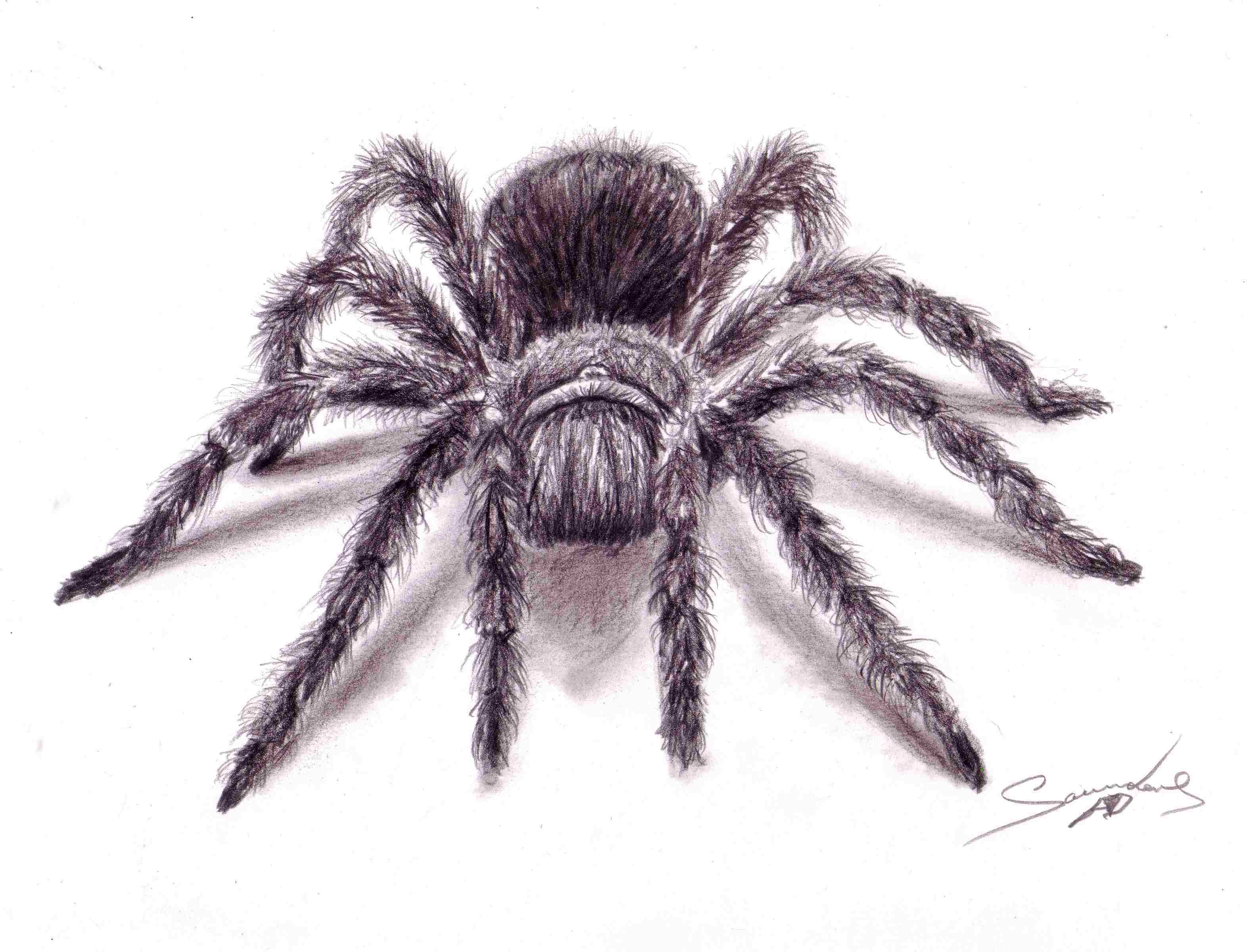 3144x2400 Time Lapse Drawing Tarantula Spider