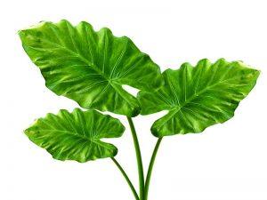 300x225 10 Health Benefits Of Taro Leaves