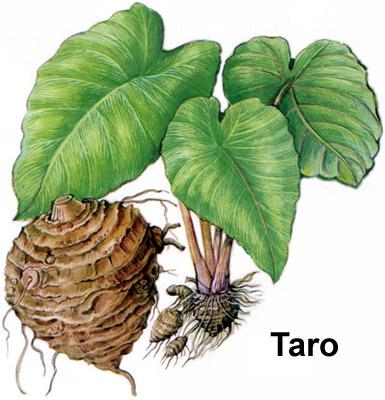 385x400 A Taro Plant. South Pacific Plants