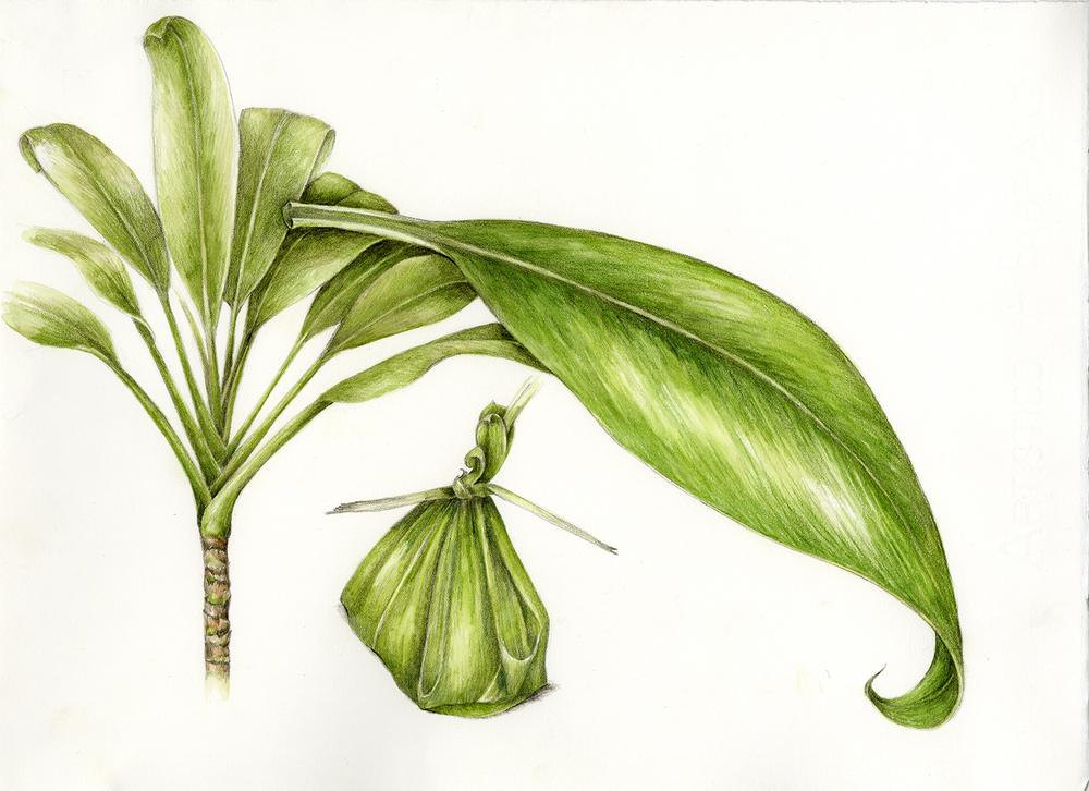 1000x726 Canoe Plants Botanical Artist Amp Illustrator, Learn To Draw Art