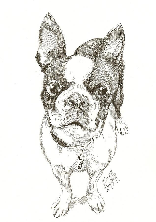 635x900 Boston Terrier Drawing By Joseph Baker