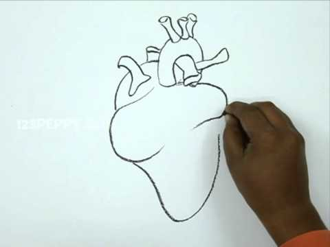 480x360 How To Draw A Human Heart