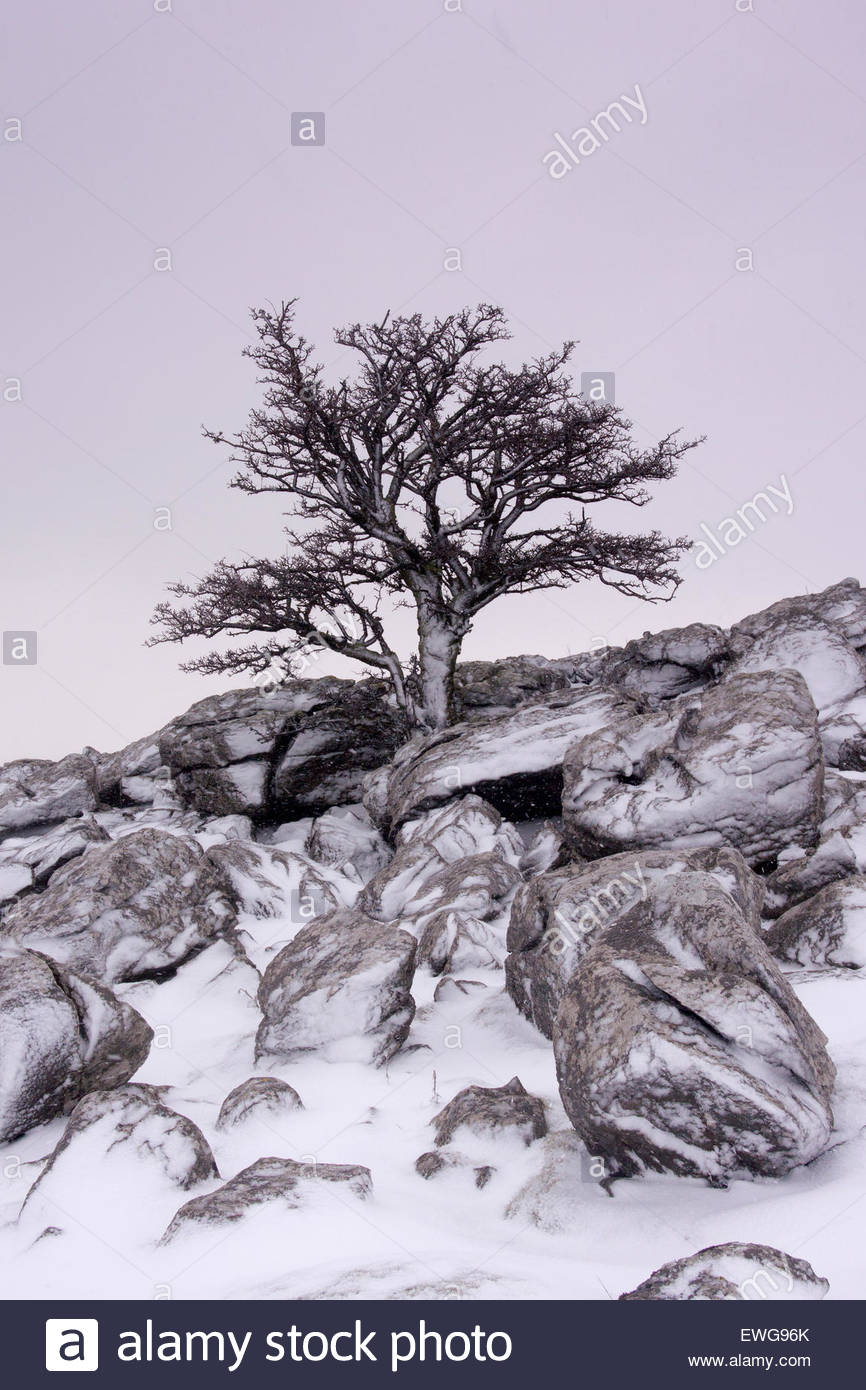 866x1390 Lonely Thorn Bush, In Winter, On Limestone Outcrop, Fell End