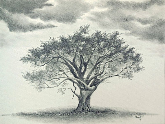 570x430 Whistling Thorn Acacia Tree Graphite Drawing