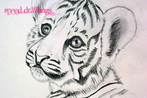 Line Drawing Of A Tiger S Face : Tiger cub drawing at getdrawings free for personal use