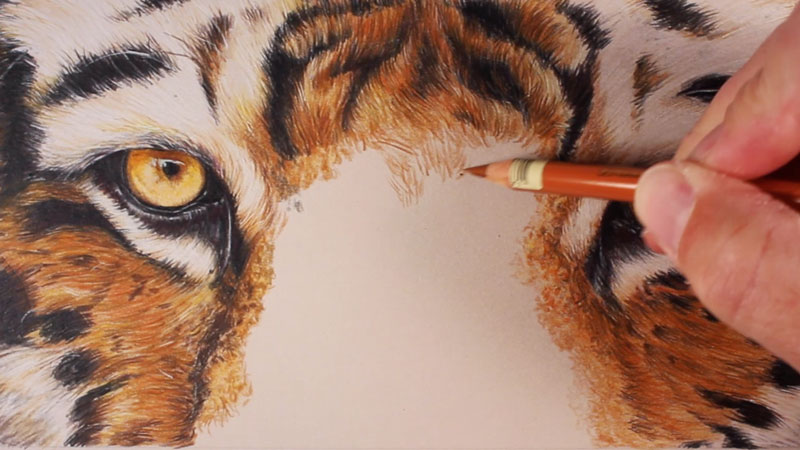 800x450 Draw A Tiger With Colored Pencils