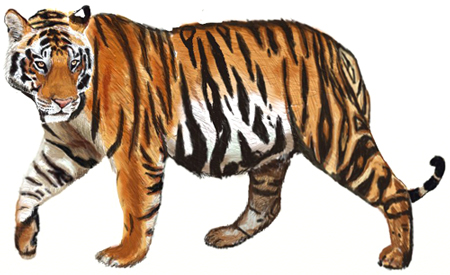 450x275 How To Draw A Tiger