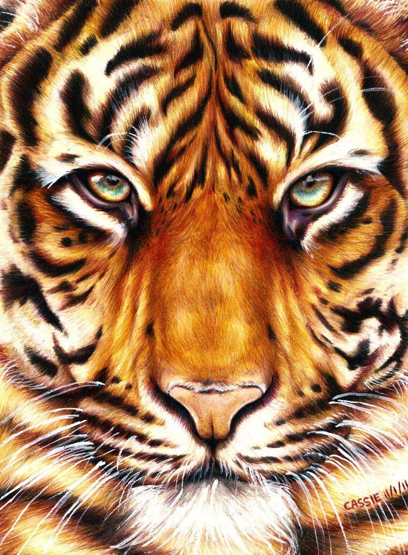 900x1224 Tiger