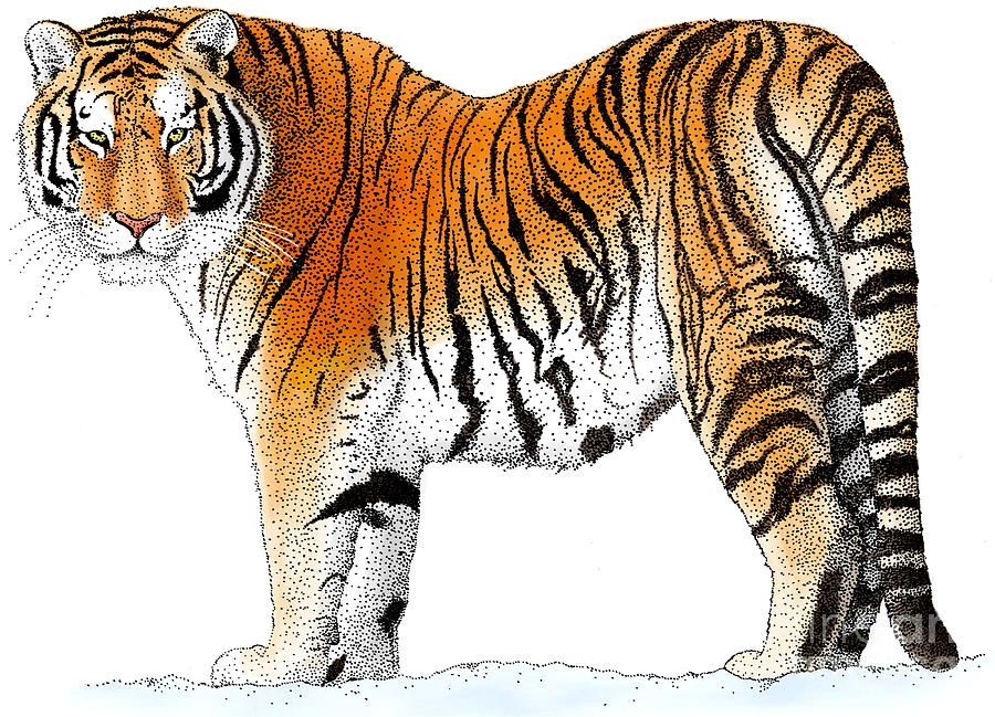 900x649 Siberian Tiger Drawing By Roger Hall And Photo Researchers