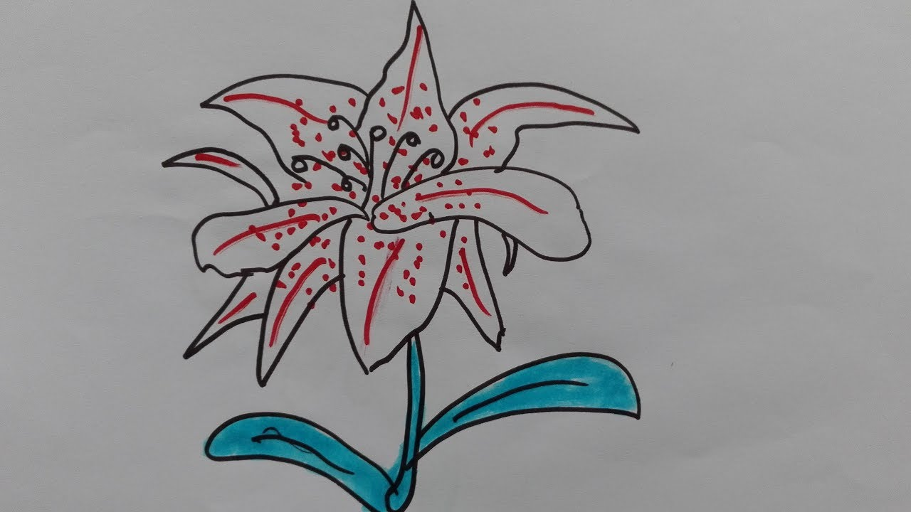 1280x720 How To Draw Lily Draw A Tiger Lily Draw A Water Lily