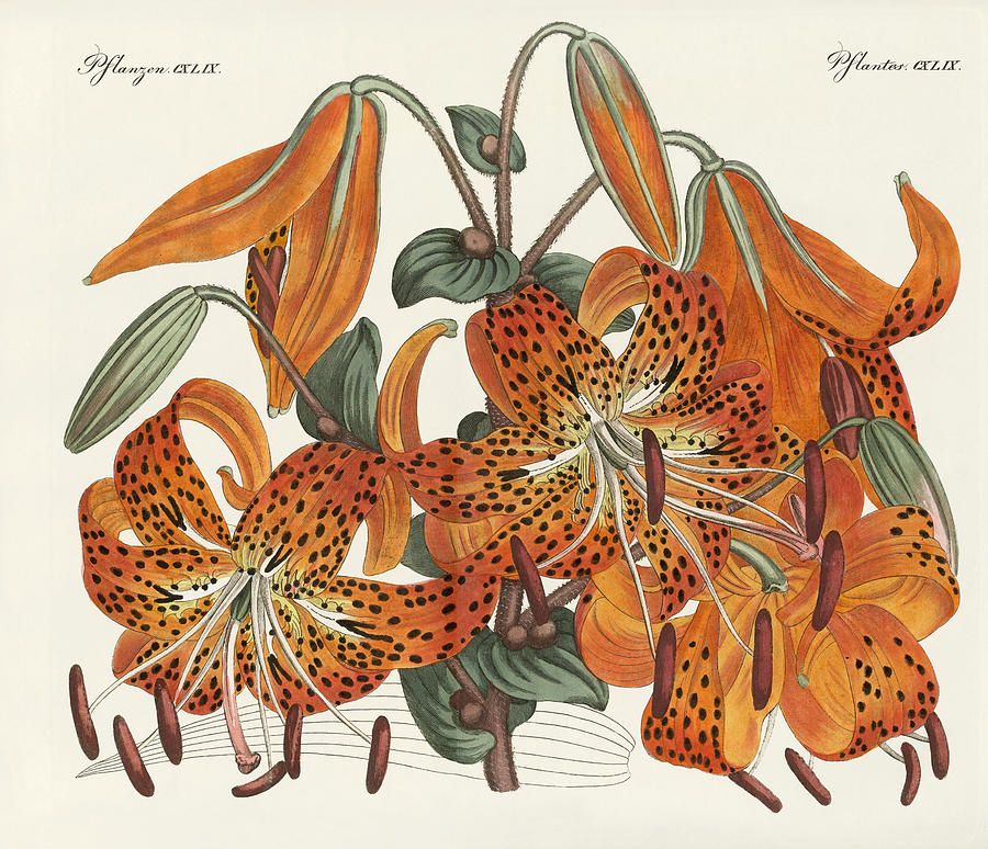 900x774 The Japanese Tiger Lily Drawing By Splendid Art Prints