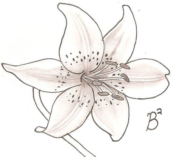 Tiger Lily Drawing at GetDrawings | Free download