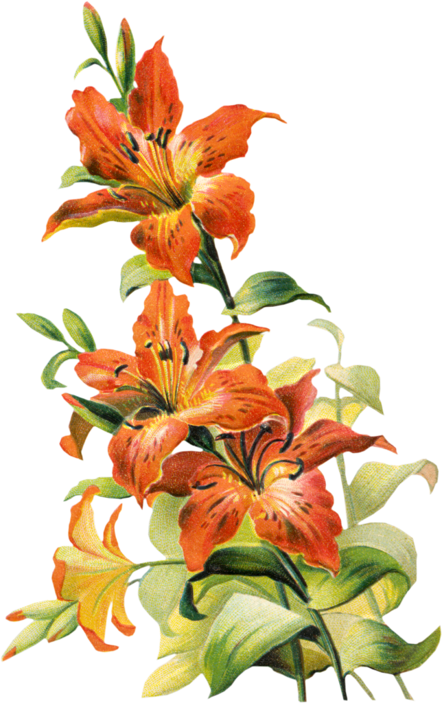 Tiger Lily Flower Drawing At Getdrawings Free For Personal Use