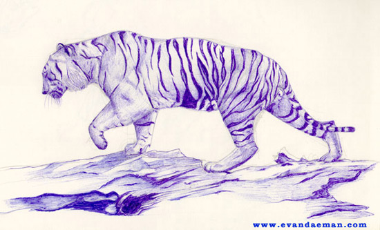 550x333 Drawing Of Sumatran Tiger Done In Blue Ink By Evan Islam