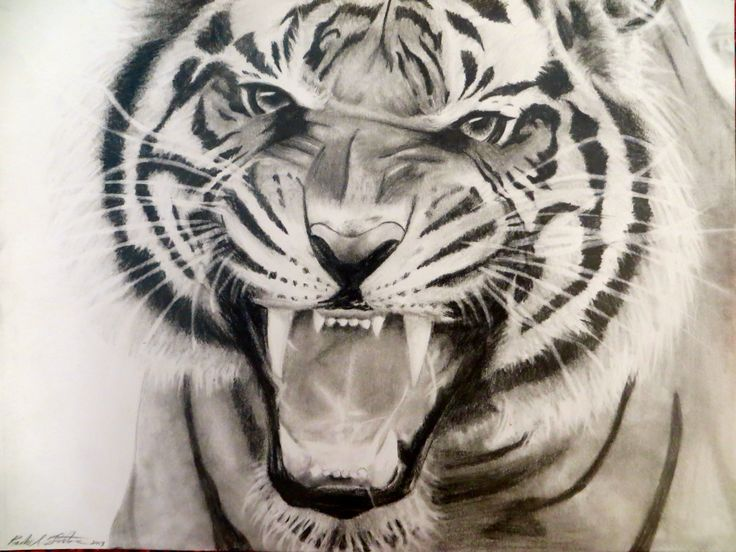 Line Drawing Of A Tiger S Face : Tiger roaring drawing at getdrawings free for personal use