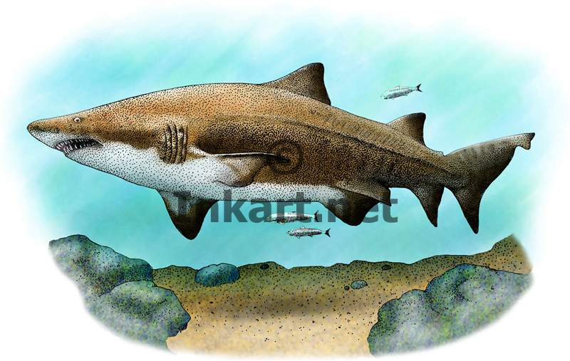 800x507 Sand Tiger Or Gray Nurse Shark Stock Art Illustration