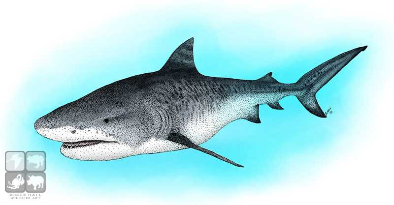 800x417 Tiger Shark Stock Art Illustration