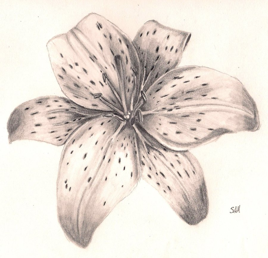 Tigerlily Drawing At Getdrawings Free For Personal Use
